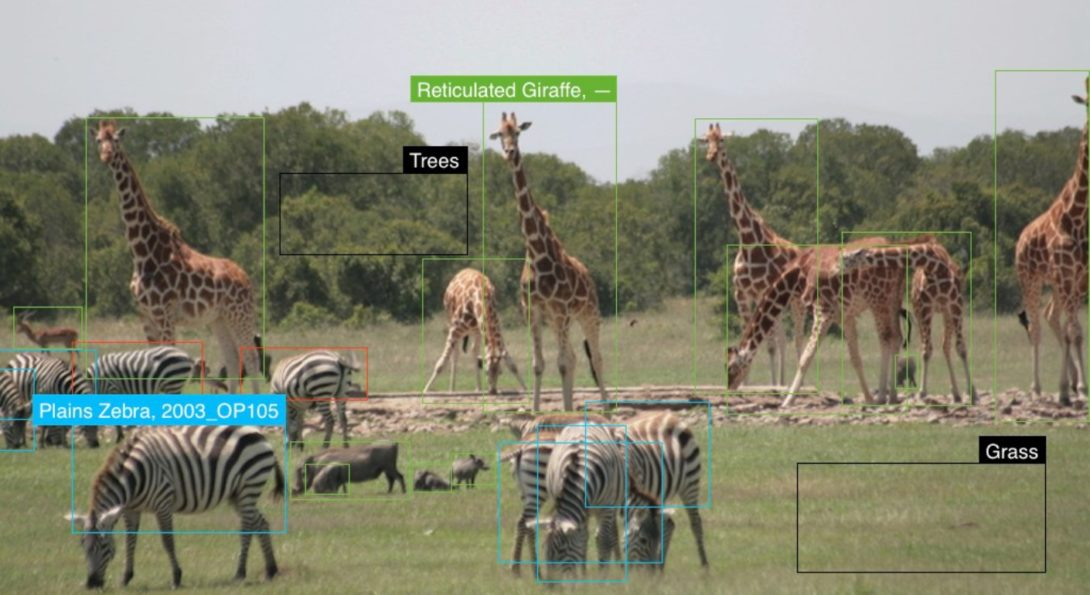 Giraffes and Zebras on Africa's grasslands