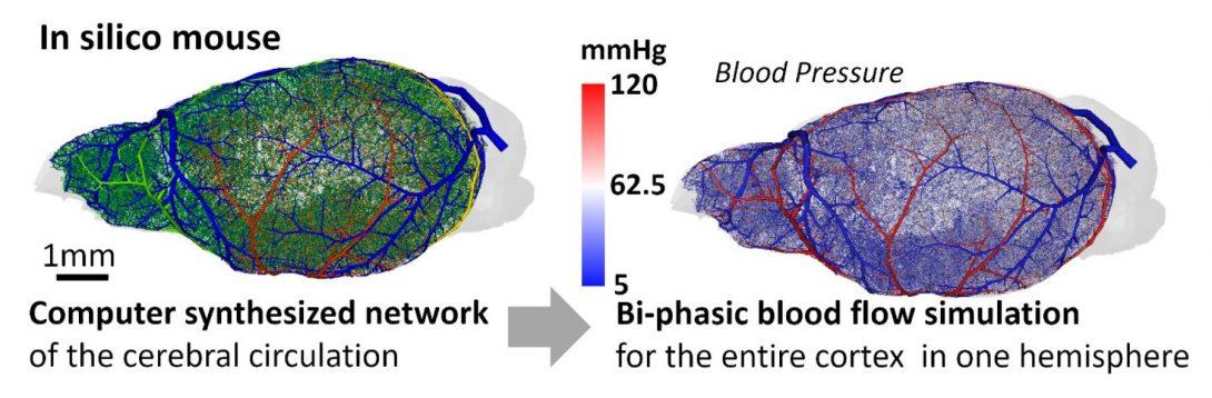 Digital brain model created in Dr. Linninger's lab