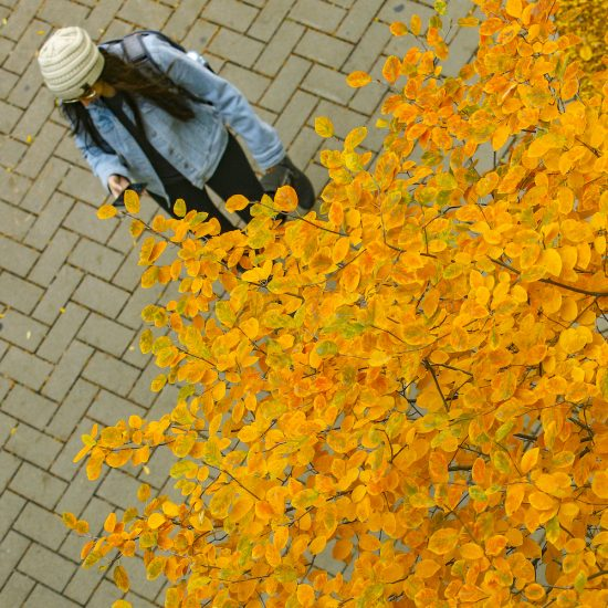 A student looks at her cell phone beneath the yellow leaves of an autumn tree on UIC's east campus